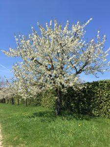 cerisier 225x300 - 10 bonnes raisons de vous marier au printemps!